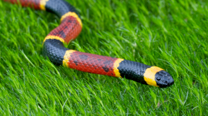 Serpent Corail dans l'herbe